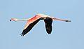 Greater Flamingo, Phoenicopterus roseus at Marievale Nature Reserve, Gauteng, South Africa (29425090825).jpg