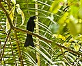 Greater Racket Tailed Drongo (6862000956).jpg