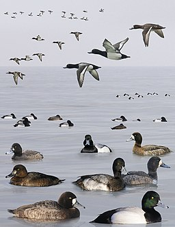 Greater Scaup from the Crossley ID Guide Britain and Ireland