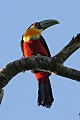 Green-billed Toucan (Ramphastos dicolorus) (8077690952).jpg