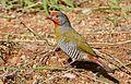 Green-winged Pytilia (Pytilia melba) male (31315621606).jpg