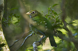Green Catbird - Lamington NP - Queensland S4E6919 (22199703969).jpg