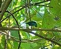 Green Honeycreeper. Chlorophanes spiza - Flickr - gailhampshire.jpg