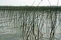 Green Reeds (237532254).jpg