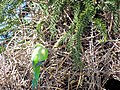 Green parrots at Parque por la Paz Villa Grimaldi - Santiago Chile - Peace Park (5278082106).jpg