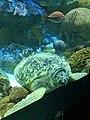 Green sea turtle - giant 3.jpg