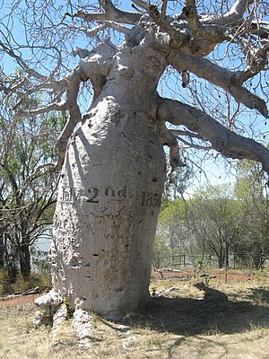 Augustus Charles Gregory - Gregory's Tree above Victoria River, appr. 20 km west of Timber Creek. The date, of July 2nd, 1856, was carved into it by Thomas Baines, the expedition's artist.
