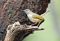 Grey-backed Camaroptera, Camaroptera brachyura, at Pilanesberg National Park, South Africa (15995675732).jpg