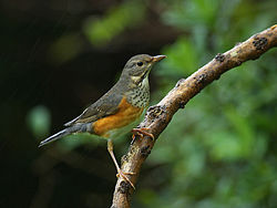 Grey-backed Thrush 0739.jpg