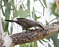 Grey Crowned Babbler chasing insects (16515439611).jpg