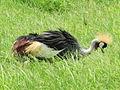 Grey Crowned Crane in Amboseli National Park.jpg