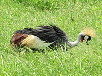 Grey Crowned Crane in Amboseli National Park.jpg