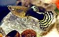 Guppy femmina snake.jpg