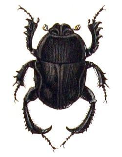 Gymnopleurus.mopsus.-.calwer.21.01.jpg