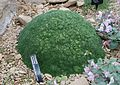 Gypsophila aretioides - RHS Garden Harlow Carr - North Yorkshire, England - DSC01533.jpg