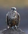 Gyr falcon - Falco rusticolus - Fálki 3.jpg
