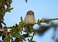 Hökuggla Northern Hawk Owl (20350577995).jpg