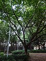 HK 堅尼地城 Kennedy Town 加多近街臨時花園 Cadagan Street Temporary Garden name sign n trees Oct-2015 DSC (4).JPG