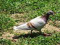 HK CWB 維多利亞公園 Victoria Park 鴿子 Pigeon n green ground May 2016 DSC (7).jpg