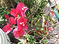 HK Mid-levels High Street clubhouse green leaves plant February 2019 SSG 59.jpg