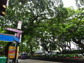 HK TST Nathan Road green Sidewalk Chinese Banyan trees Aug-2015 DSC (25).JPG