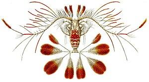 Maxillopoda - Image: Haeckel Copepoda Calocalanus pavo