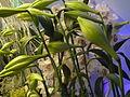 Haifa International Flower Exhibition P1140013.JPG