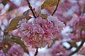Hakodate Goryōkaku Park Sakura May 2016 3.jpg