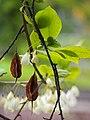 Halesia carolina var. monticola Ośnieża karolińska 2017-05-01 02.jpg