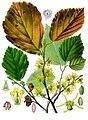 Hamamelis virginiana - Köhler–s Medizinal-Pflanzen-070.jpg
