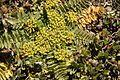 Haplosciadium abyssinicum.jpg
