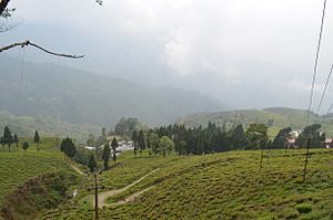 Happy Valley Tea Estate - Happy Valley Tea Estate, Darjeeling.