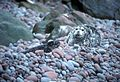 Harbor seal and pup on buldir island aleutians.jpg