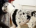 Harlequin Great Dane - Bart (3532395418).jpg