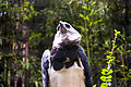Harpia harpyja -Fort Worth Zoo -upper body-6a.jpg