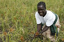 A farmer harvesting millet by hand in her field