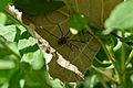 Harvestman (Opiliones) - Mississauga, Ontario.jpg