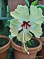 Hawai hibiscus 1.jpg