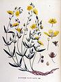 Helianthemum vulgare — Flora Batava — Volume v17.jpg