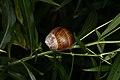 Helix pomatia (36708871951).jpg