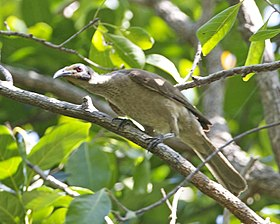 Helmeted Friarbird (Philemon buceroides) - Flickr - Lip Kee (1).jpg