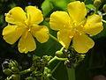 Helmiopsiella sp. Pemba - flowers 3 (12854643285).jpg