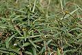 Hemidesmus indicus - Agri-Horticultural Society of India - Alipore - Kolkata 2013-01-05 2303.JPG