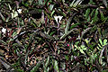 Hemigraphis repanda (Narrow leaf hemigraphis) W IMG 1503.jpg