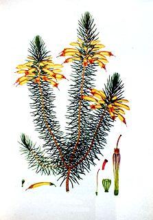 Henry Charles Andrews English botanical illustrator