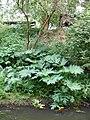 Heracleum-mantegazzianum-uncertain-0967.JPG