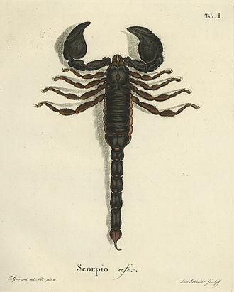 Johann Friedrich Wilhelm Herbst - Scorpion Plate1 Natursystem der Ungeflügelten Insekten