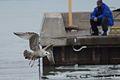 Herring Gull in Flight (32722813534).jpg