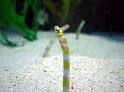 Heteroconger at Shedd Aquarium.jpg
