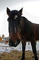 Hevosen pää.JPG